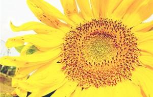 【崇明岛图片】崇明崇明,你究竟有几个样子?纪念那一年薰衣草半开的季节