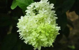 【河南图片】【植物园拾零】夏日花开伴清凉------邂逅彼岸花、忽地笑、大花水桠木 、木槿花······