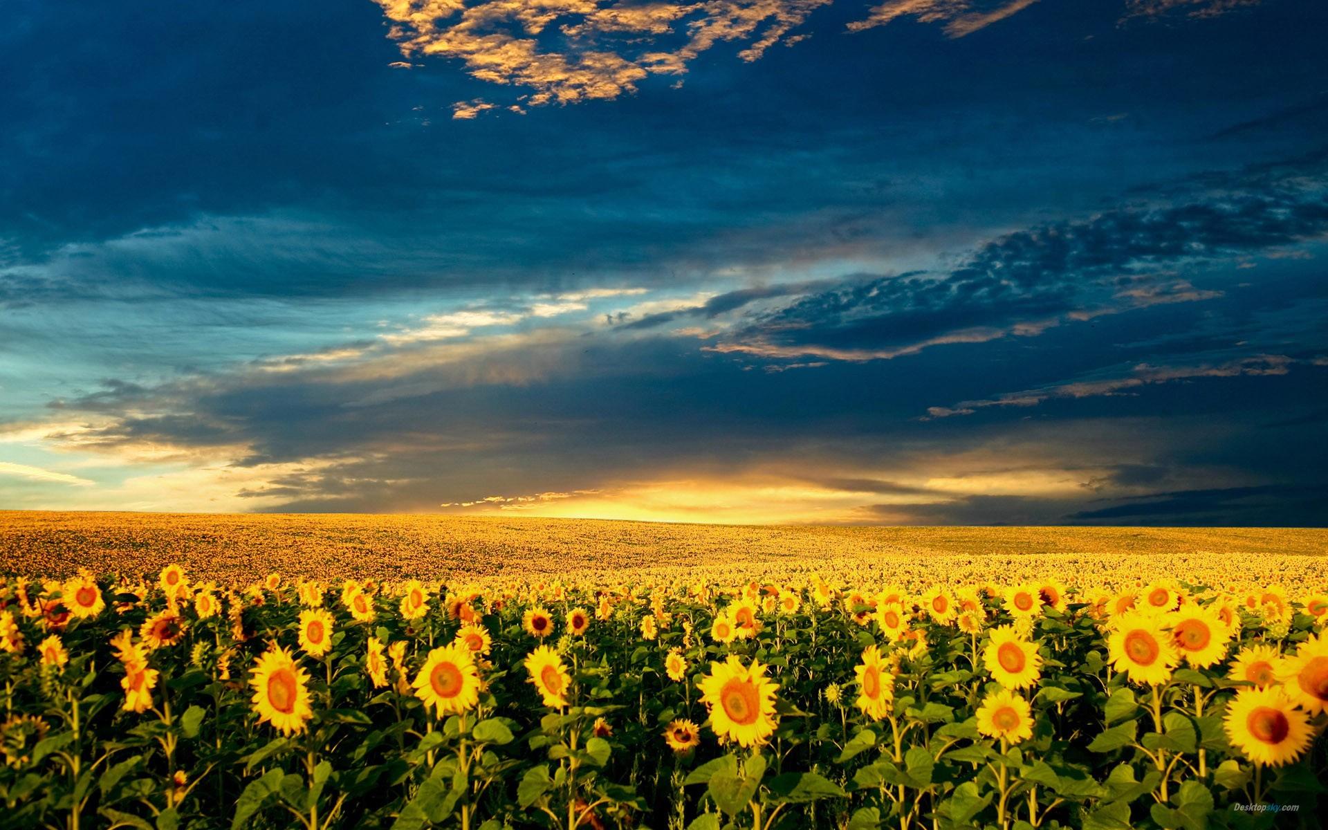 八月结伴新疆伊犁,向日葵盛开的地方,喀拉峻无边的草场