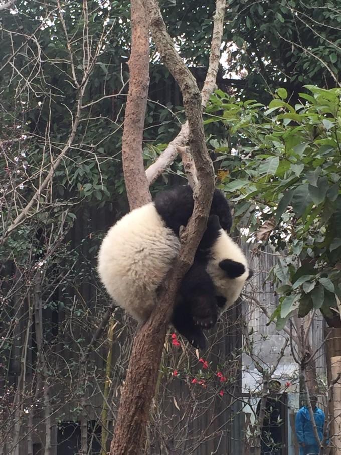 享受! 挂着睡!奇葩睡姿! 天才小熊猫.