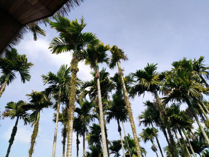 槟榔树叶子没有椰子树宽大,树干细长,显得更加秀丽挺拔.