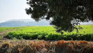 酒棕榈、旧石器和Boldo树