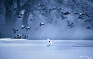 【伊宁图片】实景天鹅湖——伊宁环境天鹅摄影