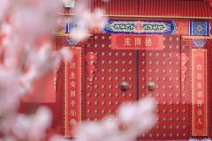 广州 ☆ 三月,又是樱花倾城