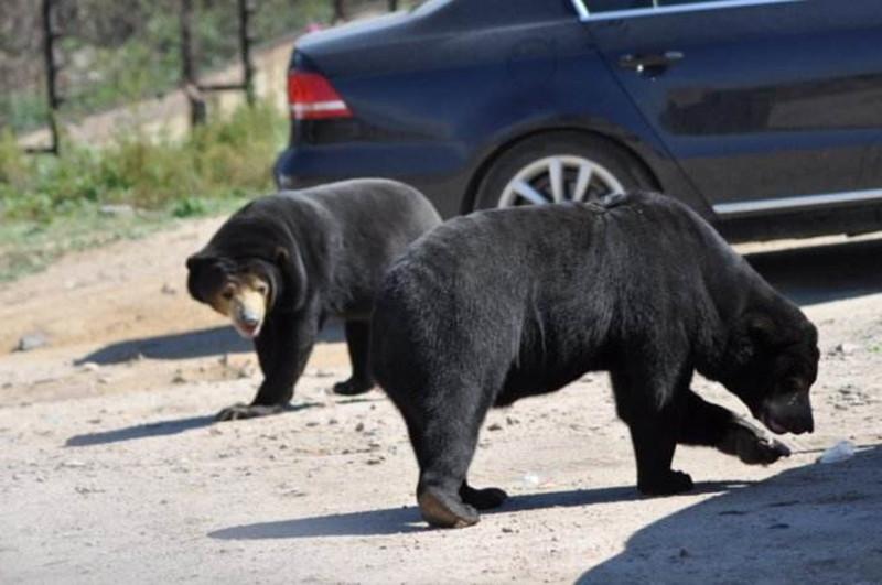 北京八达岭野生动物世界,中国最大的山地野生动物园,是一家依山而建的大型自然生态公园,占地面积6000亩,它位于举世闻名的八达岭长城脚下,紧邻八达岭高速公路,从北京市区乘车仅需40分钟,交通便利。动物园拥有百余种近万头野生动物,是集动物观赏,救助繁育,休闲度假科普教育,公益环保于一体的生态旅游公园。