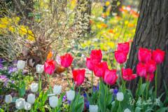 春天这朵郁金香,曾经差点让荷兰这个国家崩溃