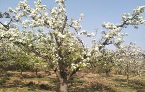【昌黎图片】共梨花开处     ――与好友同游梨花节