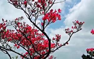 【黄冈图片】家乡的记忆:大美黄冈~中国杜鹃花~吉尼斯记录