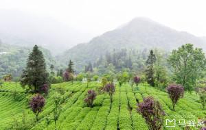 峨眉山娱乐-峨眉雪芽有机茶生产基地