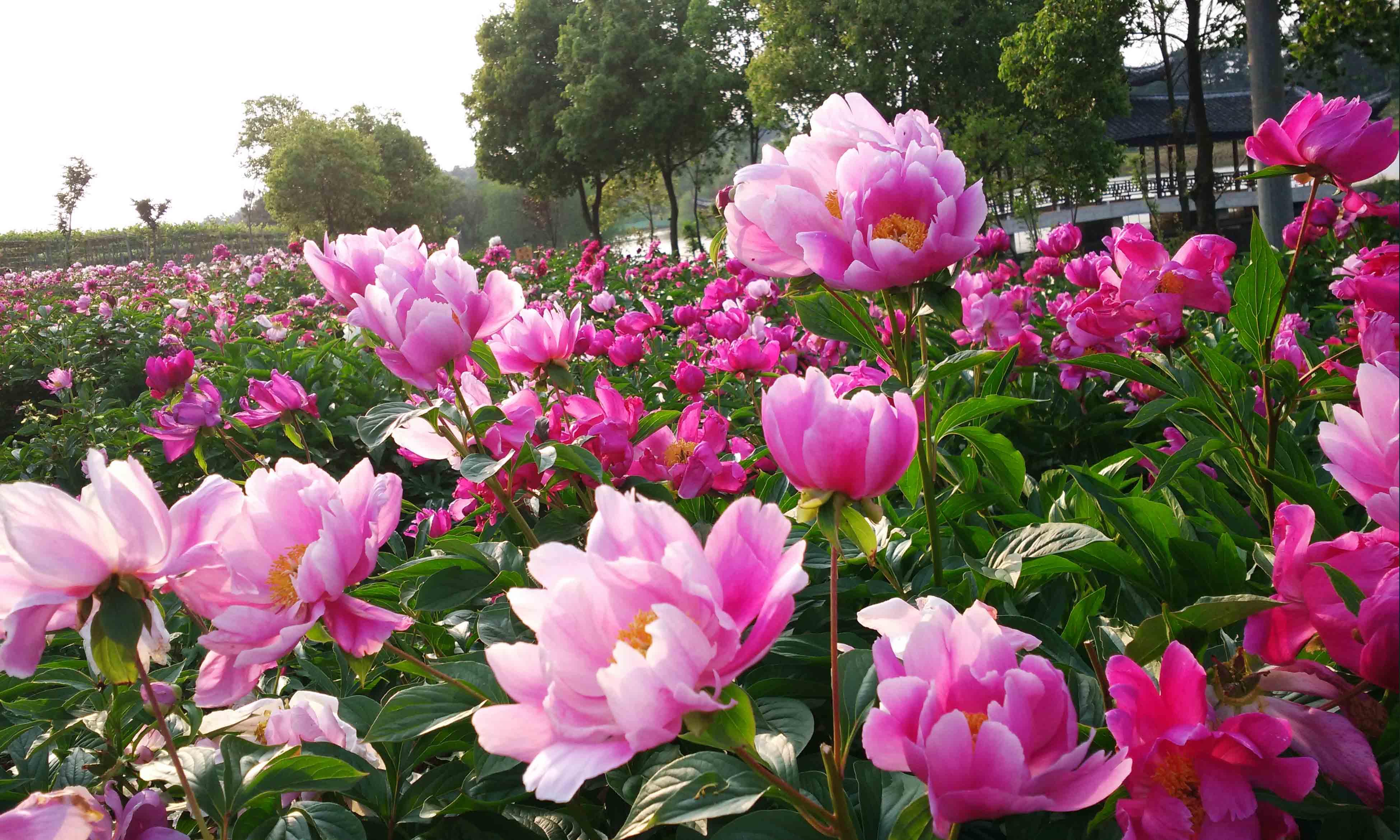 第五个星期中晚芍药开放,与早花芍药一起飘香!二百亩花园内花海一片.