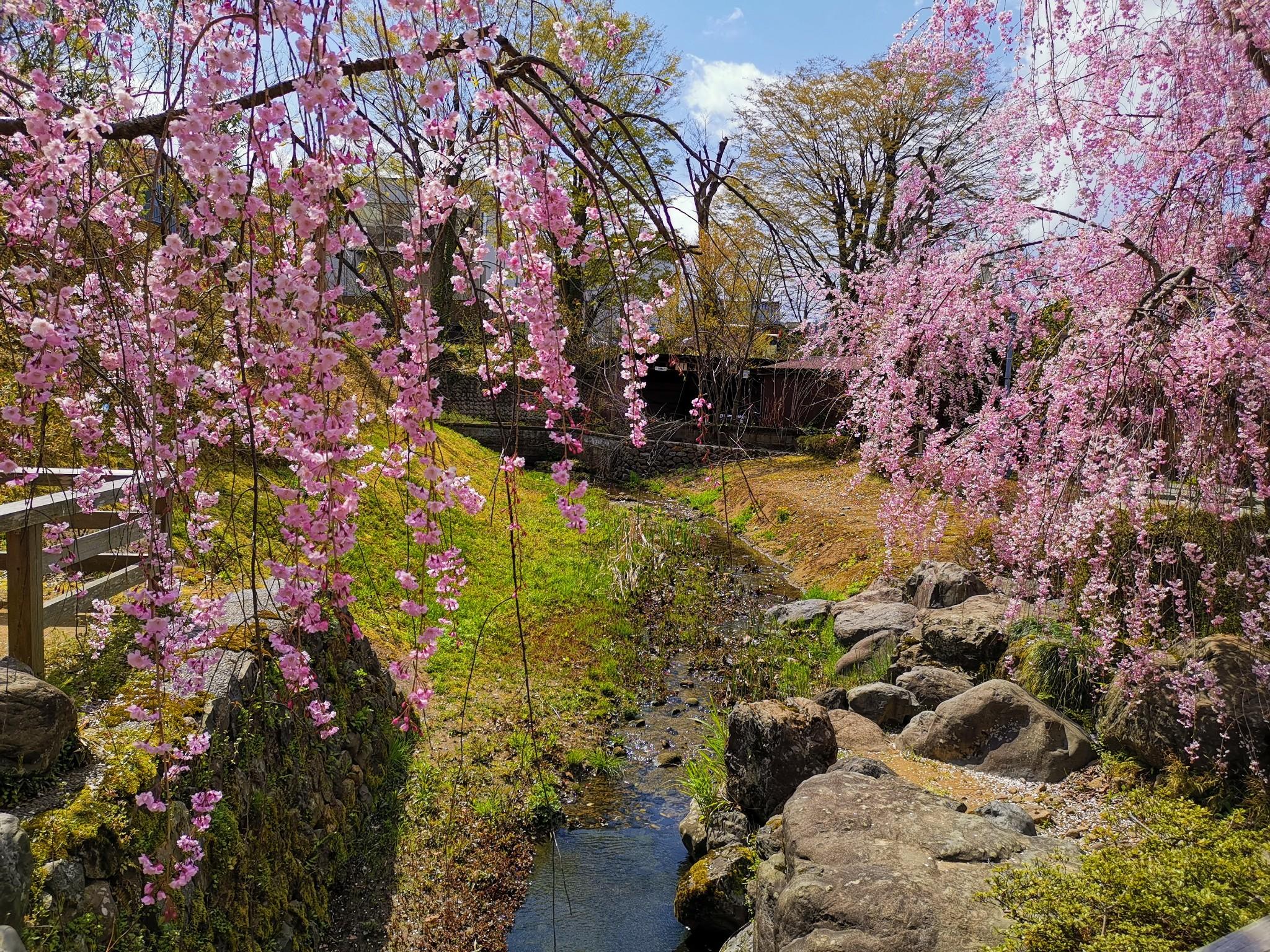 漫步金泽,与樱花的浪漫邂逅