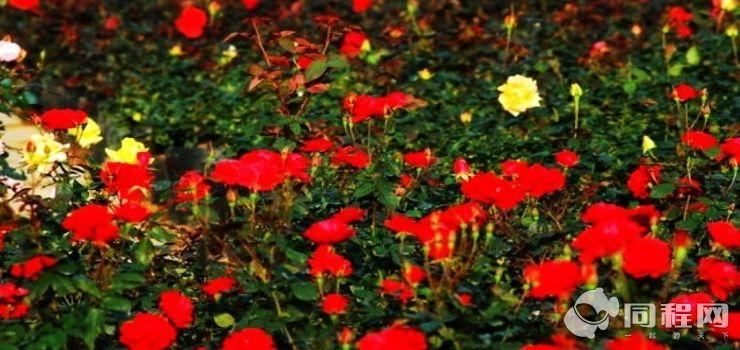 北京凡花小筑玫瑰园