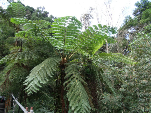 """高大的台湾杉的树丛边,长满了肥壮的芋科植物—俗称""""楼梯草""""."""