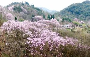 【江油图片】吴家后山。与辛夷花的重逢。