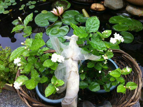 门前的大玉兰树下飘落不少花瓣,庭院里的茉莉花带着露珠,芬芳美丽.