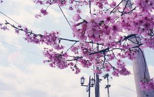 【长崎市图片】【春の日本】桜のお花見·春天是樱的旅程(福冈-指宿-长崎-大分-熊本-京都-大阪)