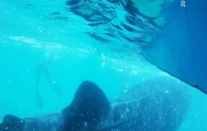 菲律宾娱乐-苏米龙岛观鲸鲨