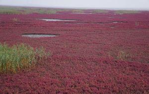 【盘锦图片】大东北环游7600公里之十一:大洼镇里芦苇重,辽河湾内海滩红