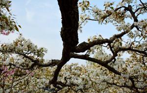 【德州图片】大美夏津梨花节----在那梨花盛开的地方