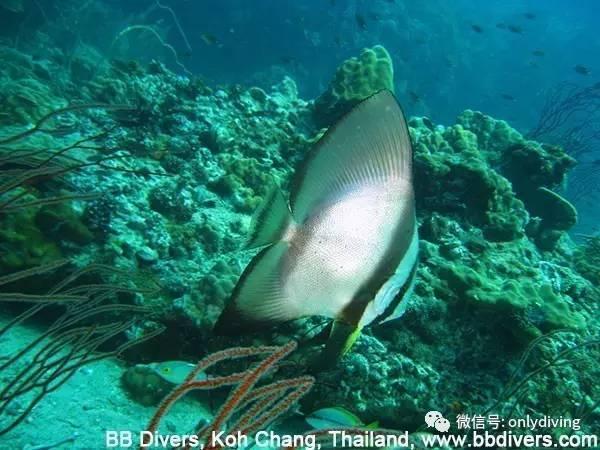 象岛潜水,一般包括三个片区:象岛周边、朗岛(Koh Rang)国家公园、玛岛(Koh Mak)。如果继续往南面探索,则进入阁骨岛(Koh Kood)周边潜点。本文所有照片,由BB Divers潜水中心( 以下视频是泰国象岛BB Divers潜水中心一天的出海行程:早上Bang Bao码头办公室集中,试穿装备;出海潜水或者浮潜;下午返回码头。(建议使用高清观看,效果更佳) 象岛周边潜点 主要分布在象岛南面、西面和西南面。  上图由BB Divers潜水中心( HTMS Chang(泰国海军象号沉船) 201