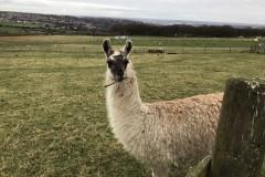 谢菲尔德一日游攻略(达西庄园&羊驼农场),在Mayfield Alpacas看万马奔腾😍