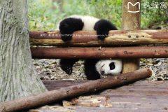 走进天府之国,近看熊猫滚滚