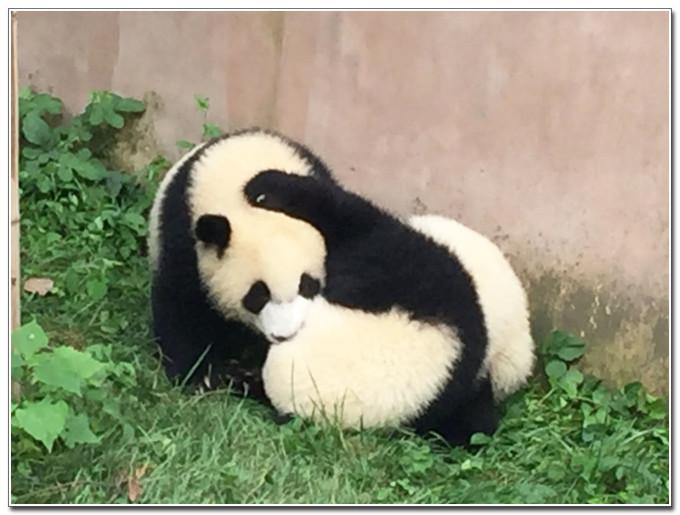 到成都看萌萌的大熊猫