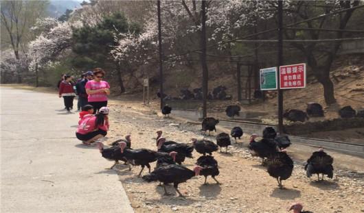 早晨天津出发赴八达岭(4-5小时,节假日会出现堵车现象),游览八达岭野生动物园:(景区交通自理20元/人)八达岭野生动物园,中国最大的山地野生动物园北京八达岭野生动物世界是一家依山而建的大型自然生态公园,占地面积6000亩,它位于举世闻名的八达岭长城脚下,紧邻八达岭高速公路,从北京市区乘车仅需40分钟,交通便利。占地6000余亩,拥有百余种近万头野生动物,是集动物观赏,救助繁育,休闲度假科普教育,公益环保险期限一体的生态旅游公园。沿着蜿蜒起伏的游览路线,融入山林的海洋,能看到汇聚世界各地的极具代表性的动