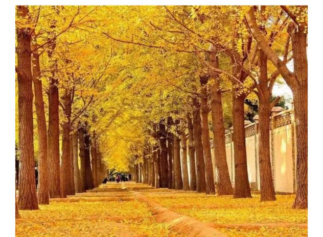 如果是11月初,就目前这样的月份,一定要去看看银杏树,雍和宫,天坛公