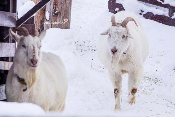 child pasture 孩子牧场里有很多可爱的小动物,  金毛狗狗耷拉着