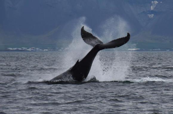 【冰岛奇缘,感受自然美】冰岛雷克雅未克观鲸之旅(含接送)
