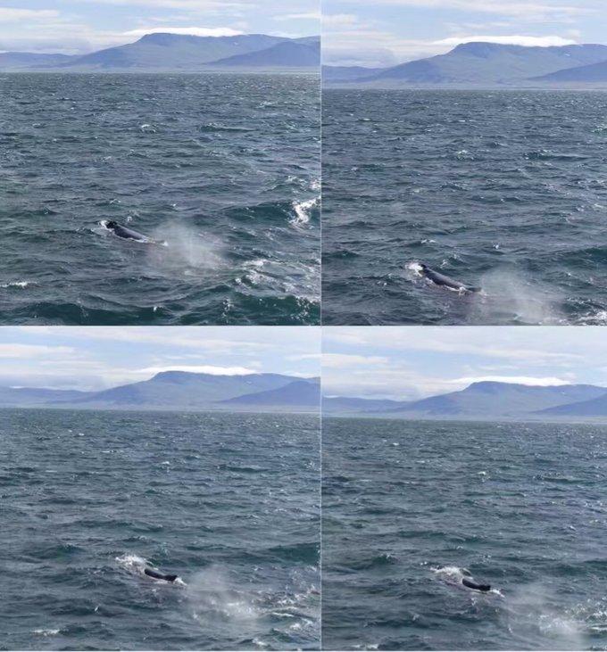 世界上有一半的鲸鱼都会经过冰岛,在冰岛北部看到鲸鱼的概率据说高达
