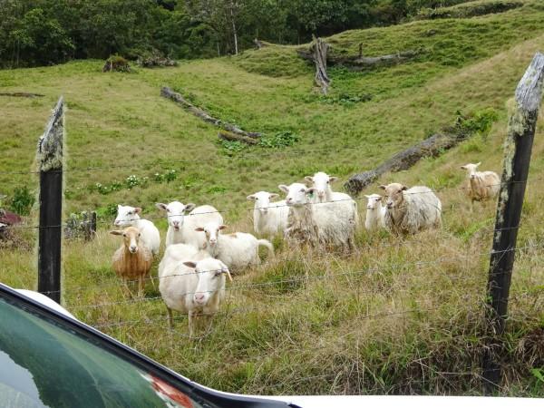 多可爱的羊群,一听到声音,马上就走过来.