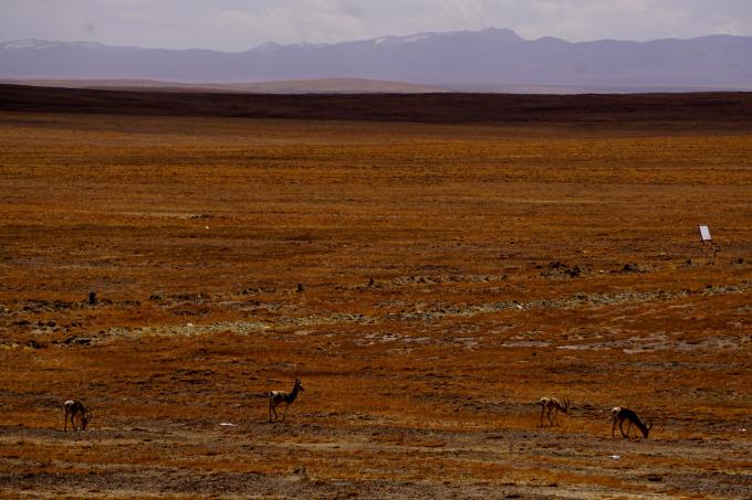 世界遗产丨走进可可西里邂逅世界第三极的藏羚羊