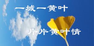 一城一黄叶,片片黄叶情